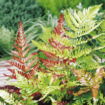 Stunning new growth. The fronds emerge as orange or copper coloured and really stand out. Striking when young. Mature to dark green, stiff and upright