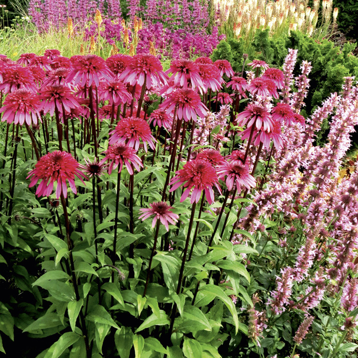 Wild Echinacea Plant Echinacea Plant Supreme