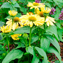 Echinacea Plant - Chiquita