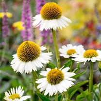 Echinacea Plant - White Meditation