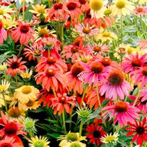 Echinacea Plants - Cheyenne Spirit