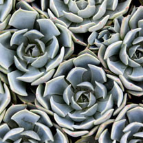 Succulents are drought tolerant, pest-free and, of course, those photogenic qualities! Echeveria are the poster boys for outdoor succulents, with blue