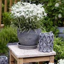 Leontopodium Plant - Blossom of Snow