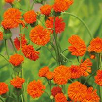 Emilia Plants - Irish Poet