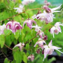 Epimedium Plants - Akebono
