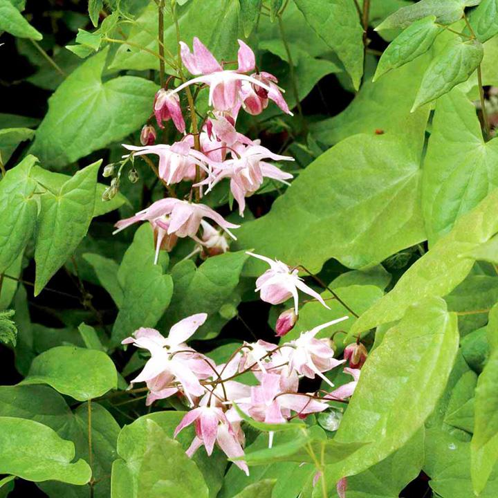 Epimedium Plants - Twin Pack