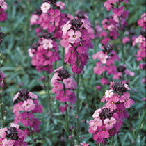 This evergreen perennial wallflower produces a mass of tall flower spikes of purple and deep mauve colours over narrow grey-green leaves. Flowers Febr