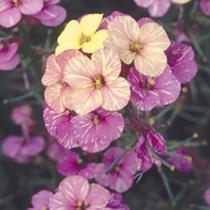 Wallflower Plants - Plant World Lemon