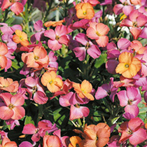 Wallflower Plants - Winter Sorbet