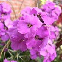 Wallflower Plants - Winter Joy