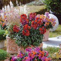 Wallflower Plants - (Erysimum) Collection