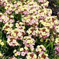 Marbled flowers that change from purple to pink and then to light yellow. Flowers April-July. Height 30-40cm (12-16); spread 30-40cm (12-16). These ha