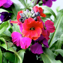 Great for the bees and butterflies, these flowers produce an effect of different colours ranging from reds to purple. Flowers May-July. Height 20-30cm