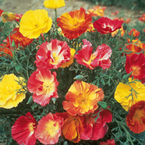 Poppy Californian Seeds - Thai Silk Mix
