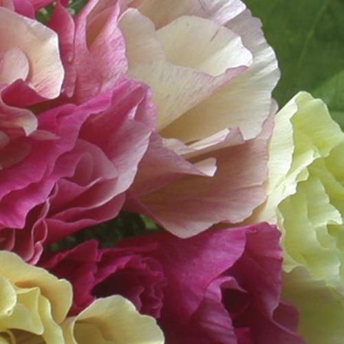 Poppy Californian Seeds - Bridal Bouquet