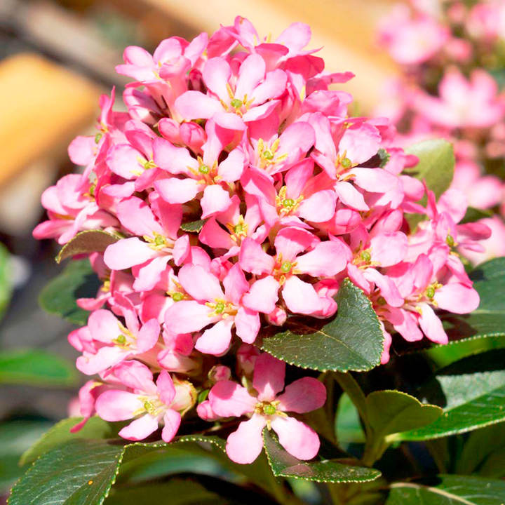 escallonia laevis pink elle view all trees and shrubs. Black Bedroom Furniture Sets. Home Design Ideas