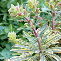 Euphorbia Plants - Collection