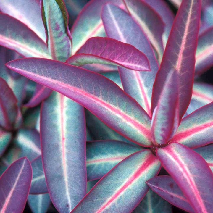 Euphorbia Plants And Flowers Ltd Euphorbia Excalibur Plants