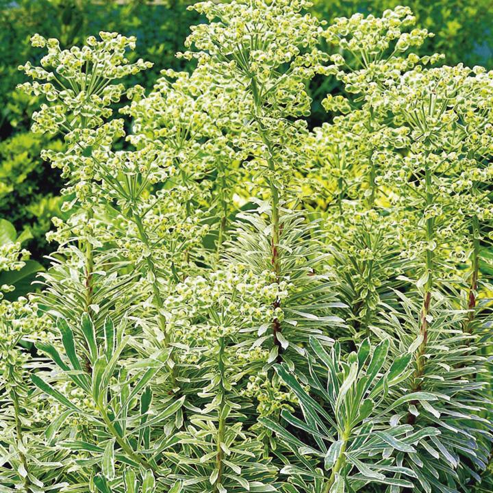 Euphorbia Plant - Silver Swan