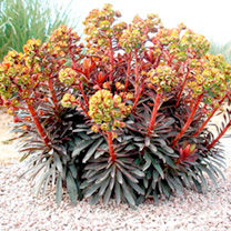 Euphorbia Plant - Blackbird