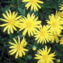 This great container or border euryops plant will brighten up any sunny spot. The large, bright yellow, daisy-like flowers are produced in the summer