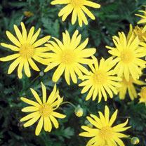 Euryops Plant - Jamaica Sunshine