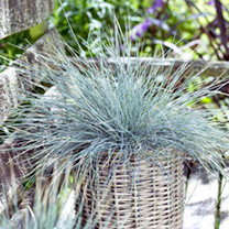 Festuca glauca Plant