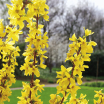Forsythia intermedia Plant