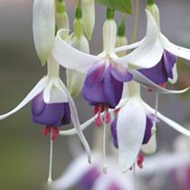Fuchsia Hardy Plant - Delta's Sarah