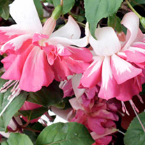 Fuchsia Plants - Gummiberry