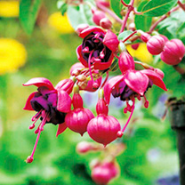 Fuchsia Plants - Dollar Princess