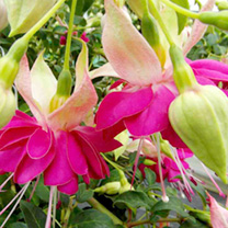 Fuchsia Giant Double-flowered Trailing Plants - Collection