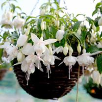 Fuchsia Giant Double-flowered Trailing Plants - Royal Diamond