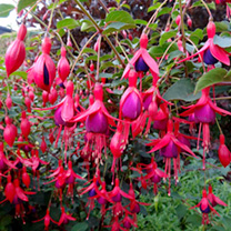 Fuchsia Plants - Hardy Collection
