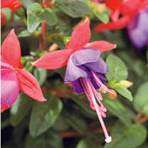 Fuchsia Standard Plants - Collection