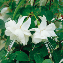The purest white blooms of any double-flowered variety, Fuchsia 'White Monk is ideal for brightening shady corners where the pale blooms will seemingl