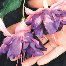 Fuchsia Plants - Giant-flowered Trailing Royal Mosaic