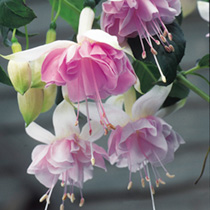Fuchsia Plants - Giant-flowered Holly's Beauty