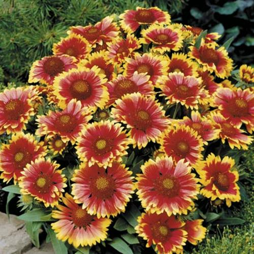 Gaillardia Arizona Sun Plants