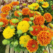 Gaillardia Plants - Galya Mix