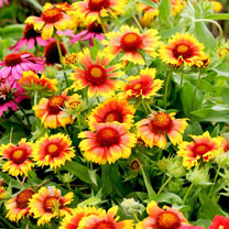 Gaillardia Plants - Mesa Bicolour Bright