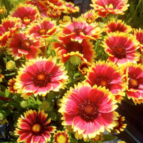 New Perennial Plant Collection