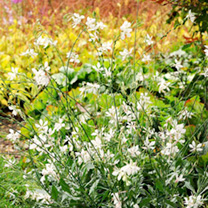 Gaura Plants - Sparkle White Gem