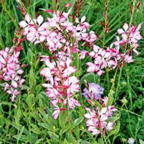 Gaura lindheimeri Plant - Freefolk Rosy
