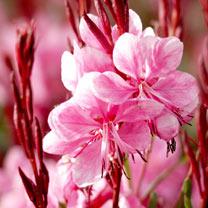 Gaura Plant - Lillipop Pink