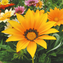 Masses and masses of large, sun-loving flowers in a wide range of vivid shades both plain and bicoloured. Heat and drought tolerant, and salt tolerant