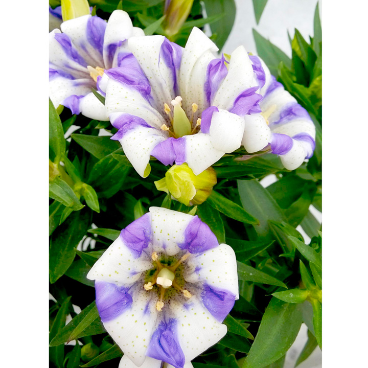 Gentiana Plant - Royal Stripes