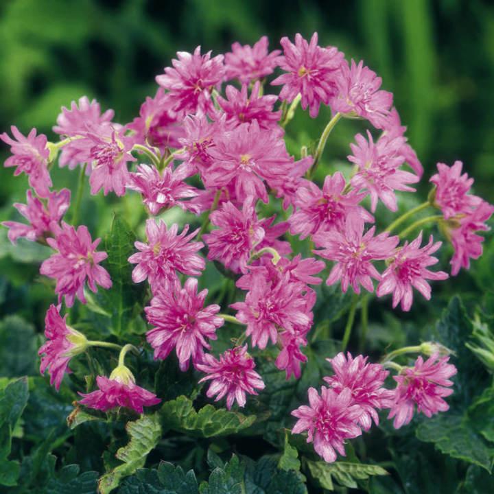 Geranium Plant - oxonianum Southcombe Double
