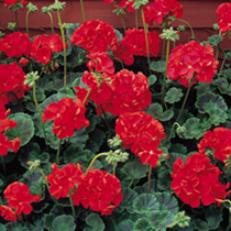 Geranium Seeds - Vista Series F2 Red