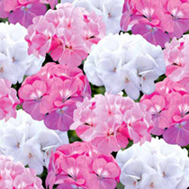 Geranium Plants - Candyfloss